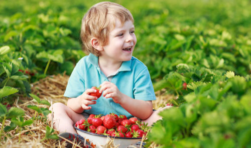 Strawberry Picking farms GTA