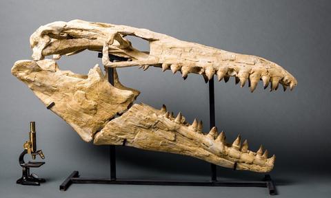 Mosasaur_Skull_D_large