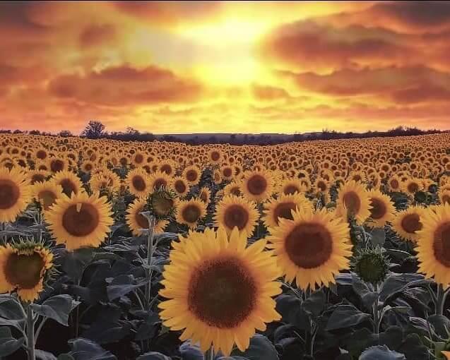 Davis Farms Sunflower Fields