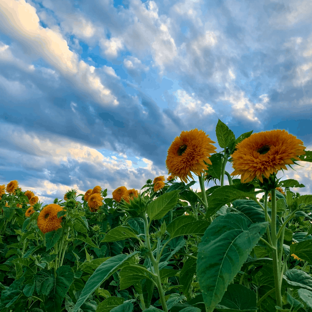Pingles Sunflower Experience