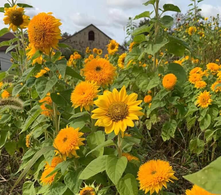 Elora Sunflower Festival